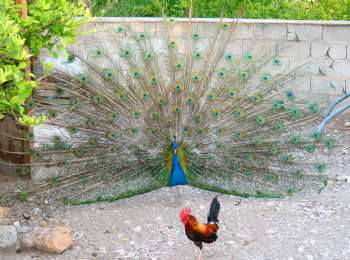 pavo real y gallina